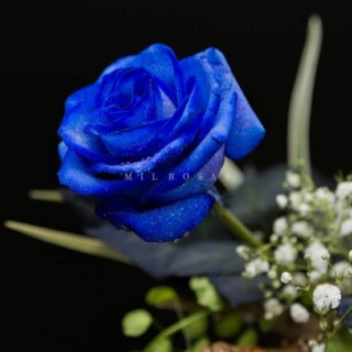 ::Desfile de Rosas AMDA::Hoy se presenta la Rosa Azul AMDA  Images13