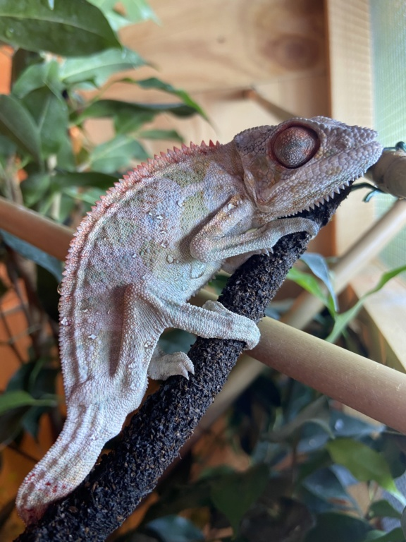 Furcifer pardalis ferme les yeux et ne mange plus 0bacbe10