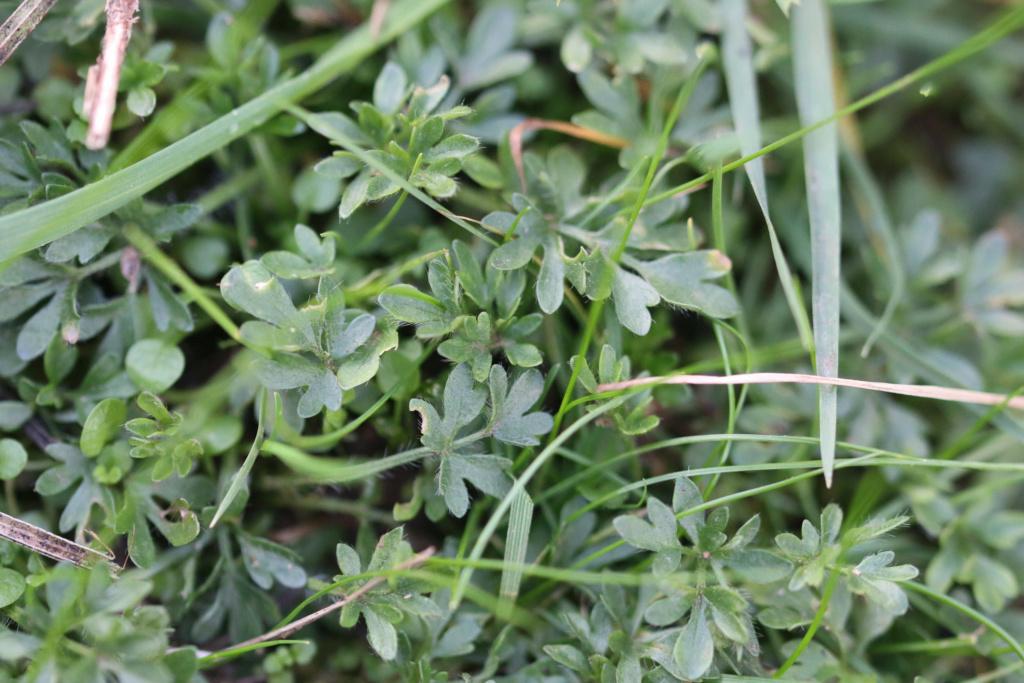 [Ranunculus sp.] Ranunculus ? -210