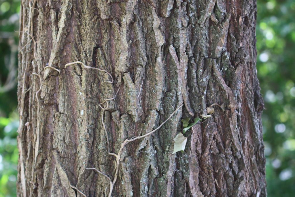 Salix alba ? -tronc10