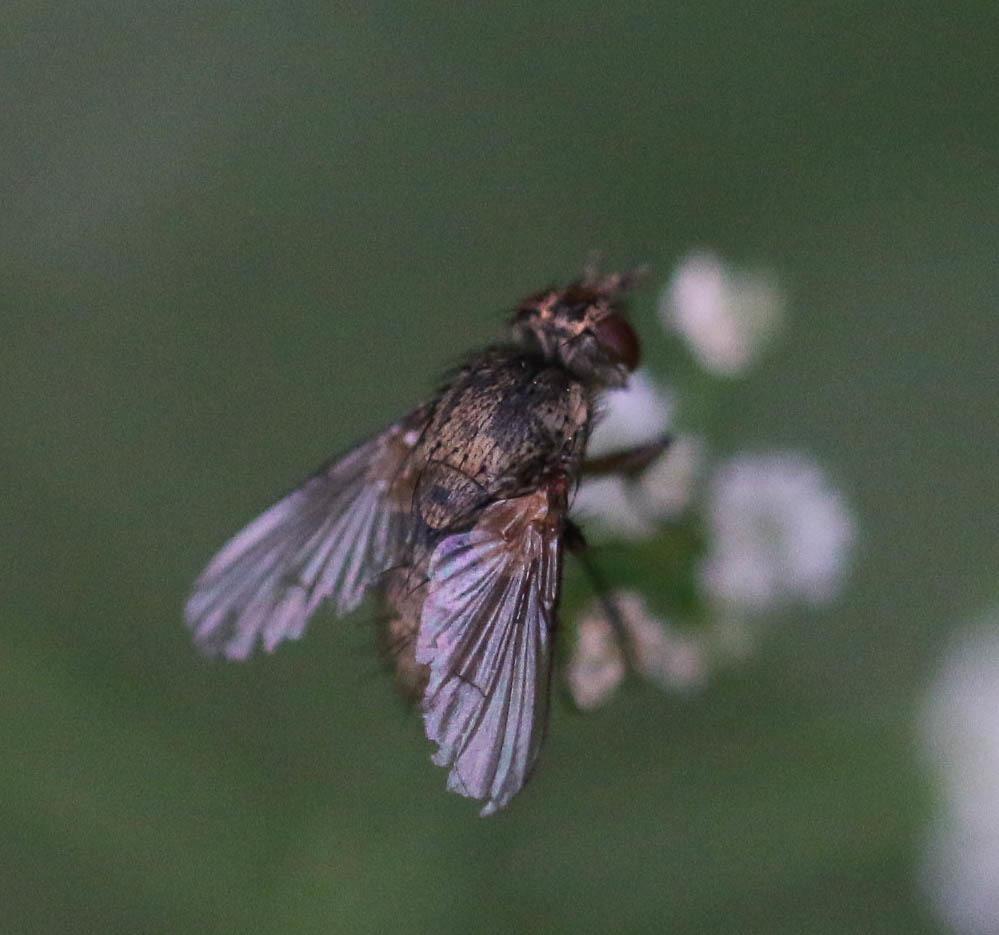Sur Torilis, Tachinidae ? 110