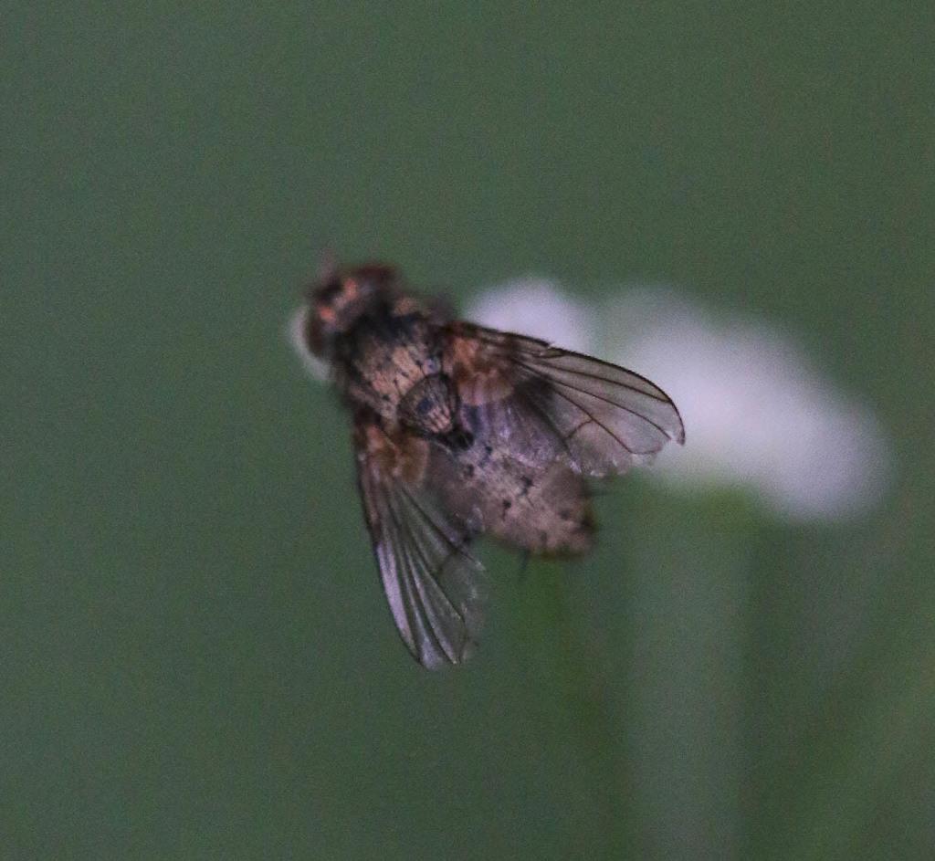 Sur Torilis, Tachinidae ? 210