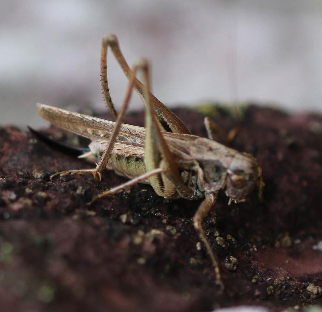 Platycleis albopunctata ou Platycleis affinis ? 211
