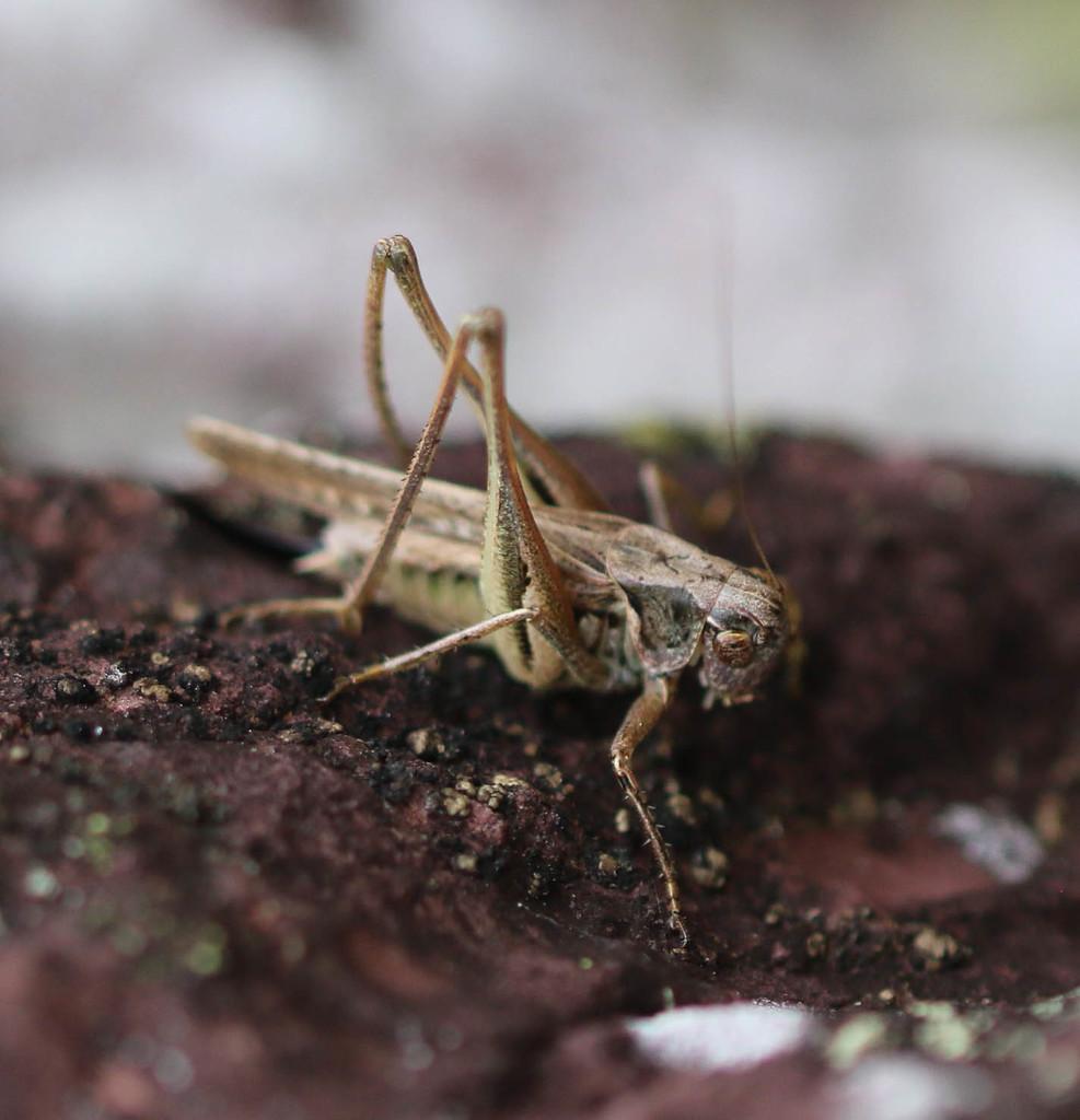 Platycleis albopunctata ou Platycleis affinis ? 310