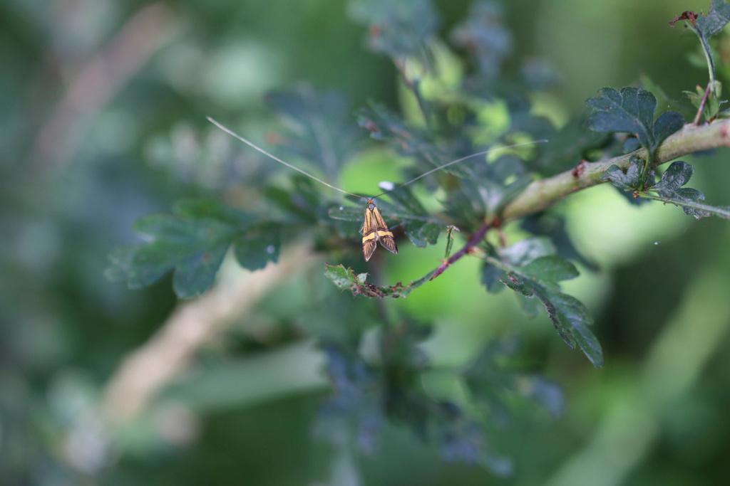 Coquille d'Or (Nemophora degeerella) Origin10