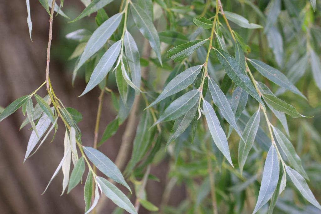 Salix alba ? Origin13