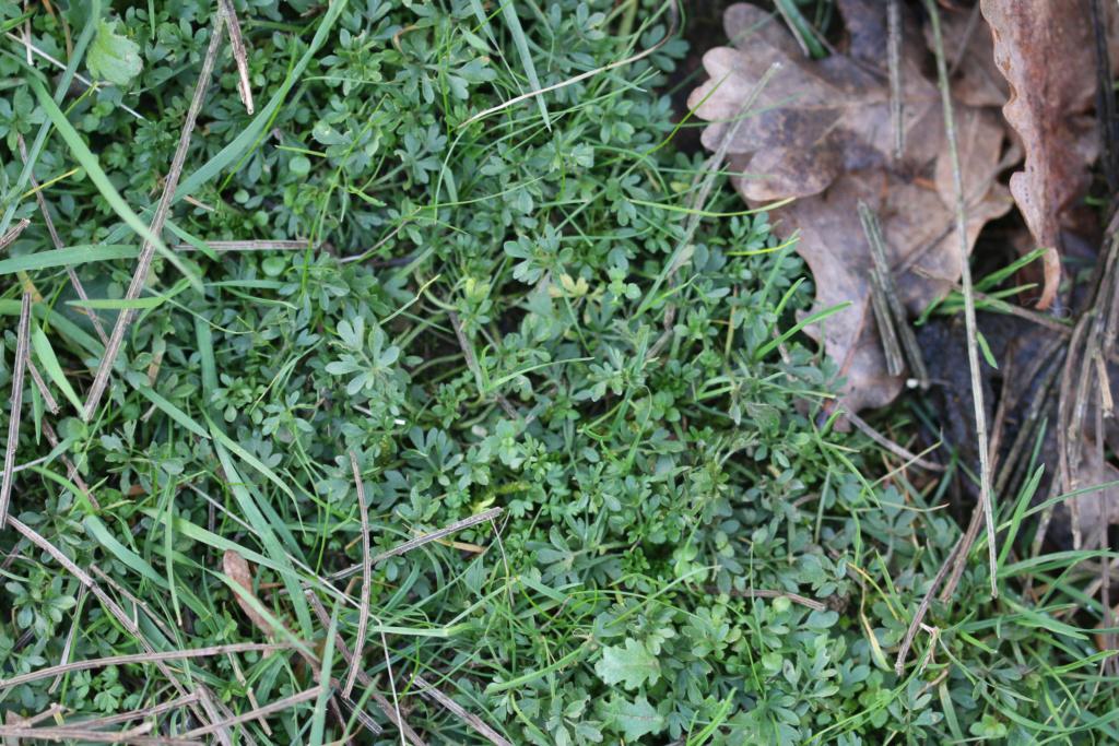 [Ranunculus sp.] Ranunculus ? Origin32