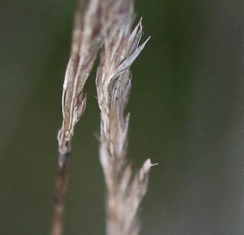 Agrostis curtisii ? Origin40