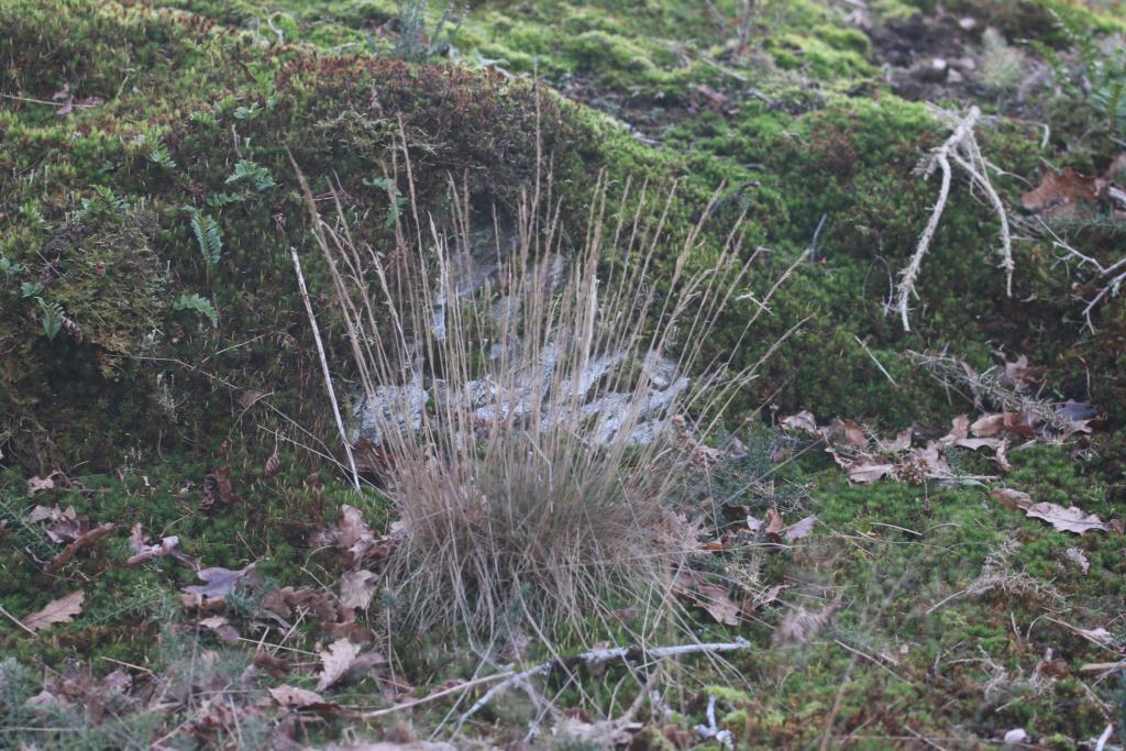 Agrostis curtisii ? Origin42