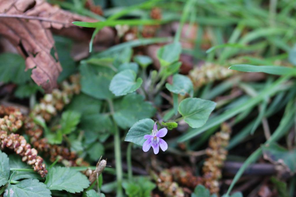 Viola riviniana ? Viola_10