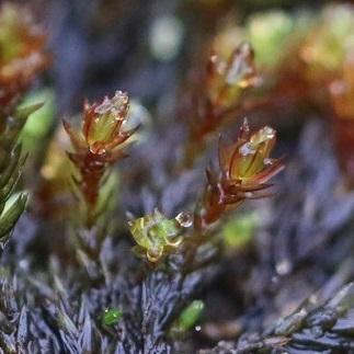 [Imbribryum alpinum] Bryophyte de l'ouest ! X13