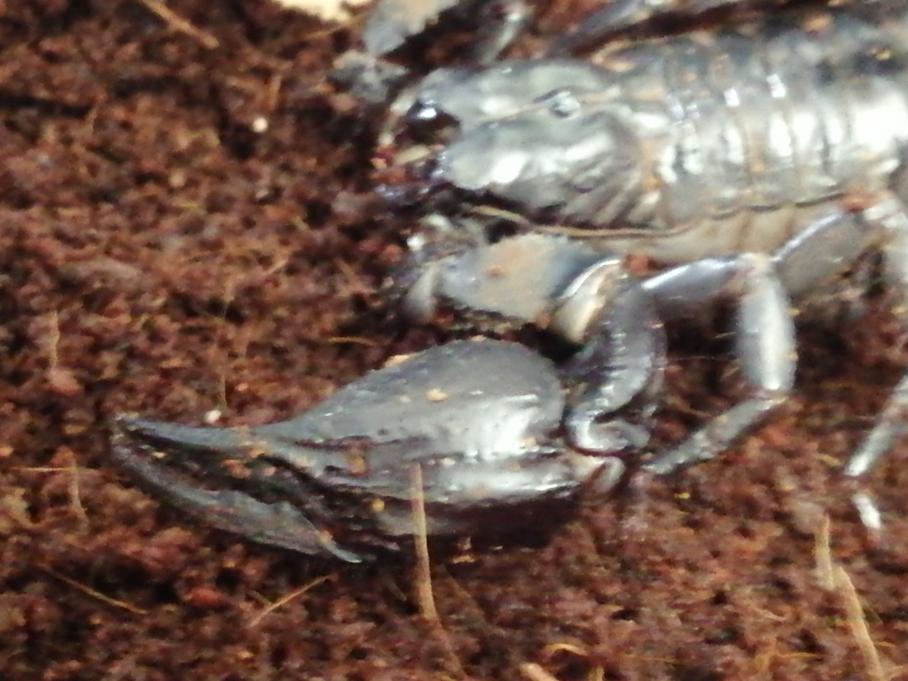 Help with forest scorpion I.d please  Img_2014
