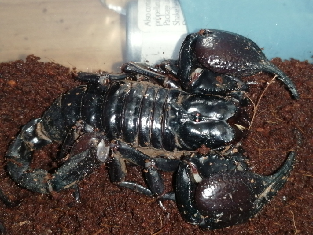 Help with forest scorpion I.d please  Img_2015