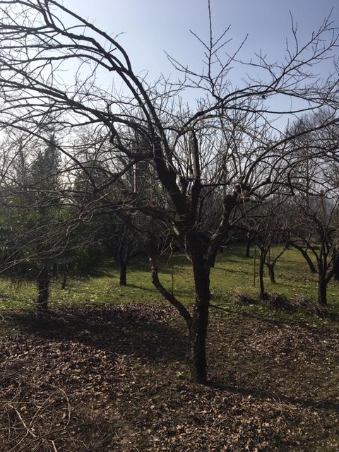 albero di kaki Img_3812