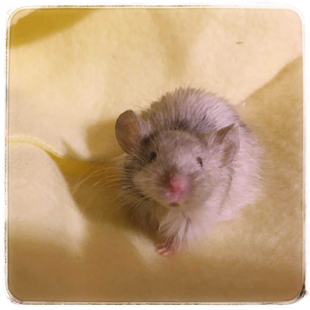 Adorable Texel Boy mice - 5 weeks old and AVAILABLE - NYC Img_4713