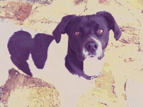 SOS SOS SOS TIPI chien âgé de 1an Tipi10