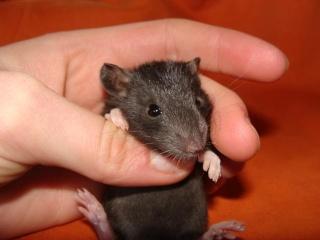 [Belgique-Morialmé]18 rats de sauvetage à adopter - Page 2 10613110