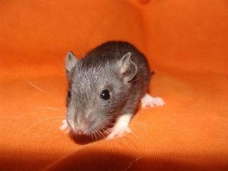 [Belgique-Morialmé]18 rats de sauvetage à adopter - Page 2 18628310