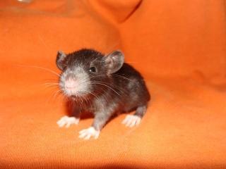 [Belgique-Morialmé]18 rats de sauvetage à adopter - Page 2 59182410