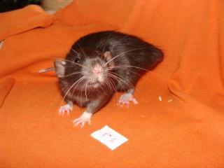 [Belgique-Morialmé]18 rats de sauvetage à adopter - Page 2 69393010