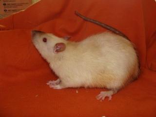 [Belgique-Morialmé]18 rats de sauvetage à adopter - Page 2 81158611