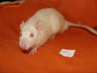 [Belgique-Morialmé]18 rats de sauvetage à adopter - Page 2 99371610