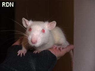 [Belgique-Mellier]23 rats de sauvetage à adopter Aramis10