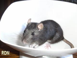 [Mellier (Belgique)] 2 jeunes rates stérilisées Bild0054
