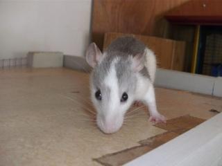 [Waterloo et Mellier (Belgique)] une trentaine de ratons à placer d'urgence - Page 2 Bild0079