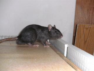 [Waterloo et Mellier (Belgique)] une trentaine de ratons à placer d'urgence - Page 2 Bild0080