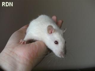 [Belgique-Mellier]23 rats de sauvetage à adopter Bild0159