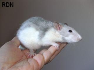 [Belgique-Mellier]23 rats de sauvetage à adopter Bild0160