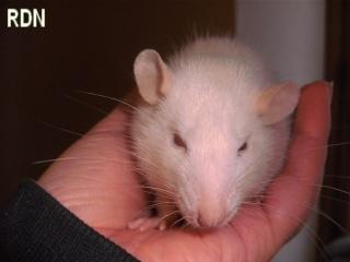 [Belgique-Mellier]23 rats de sauvetage à adopter Charly10