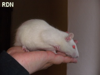 [Belgique-Mellier]23 rats de sauvetage à adopter Faust10