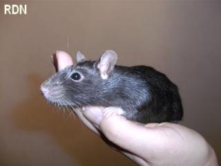 [Belgique-Mellier]23 rats de sauvetage à adopter Lona10