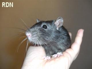 [Belgique-Mellier]23 rats de sauvetage à adopter Lutti_10