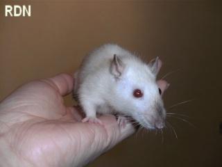 [Belgique-Mellier]23 rats de sauvetage à adopter Paloma11