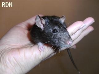 [Belgique-Mellier]23 rats de sauvetage à adopter Paprik10