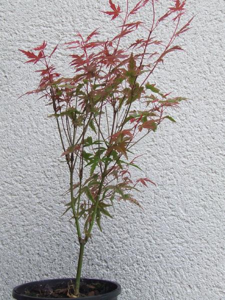 """Acer palmatum """"Phoenix"""" Acer_p12"""