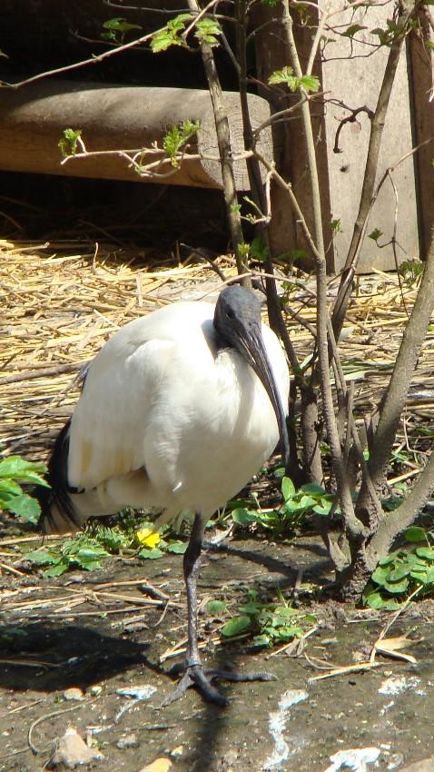 """IBIS SACRE """" threskiornis aethiopicus """" Dsc02210"""