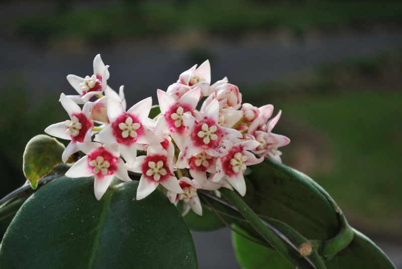 Hoya calycina Dsc_0010