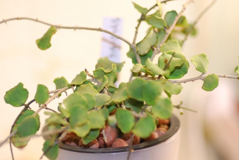 Hoya kanyakumariana Dsc_0039