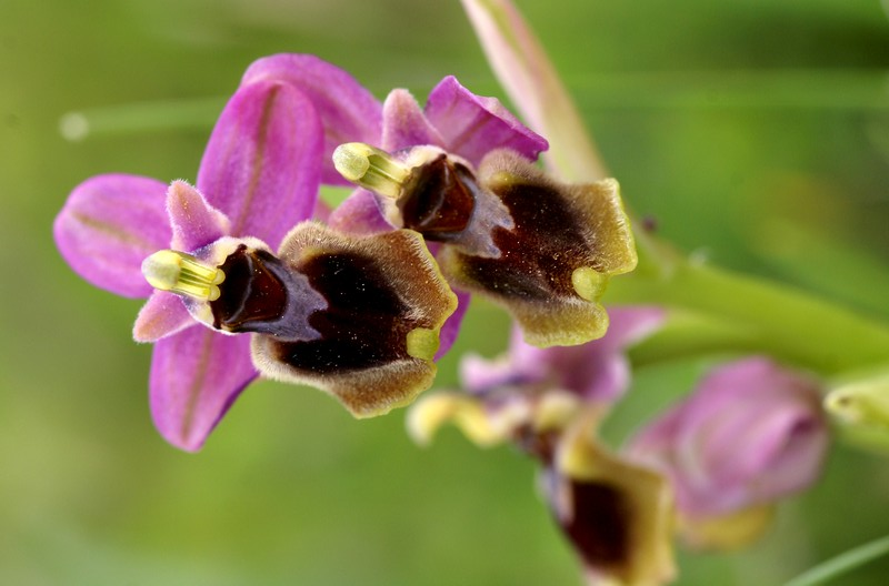 Ophrys tenthredinifera ( Ophrys guêpe ) Dsc03211