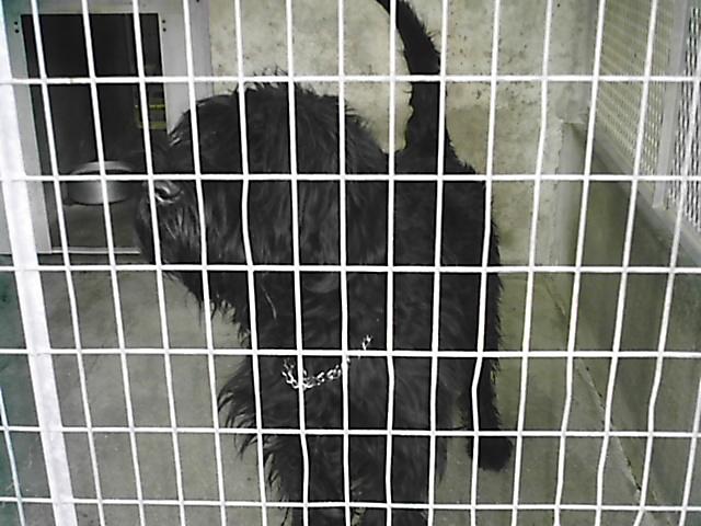 CLEAN Schnau géant noir 2 ans refuge de LUYNES(37) Schnau12