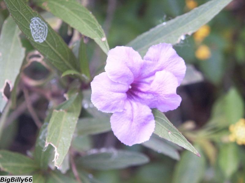 Fleurs et plages de l'Île Maurice Fleur_12