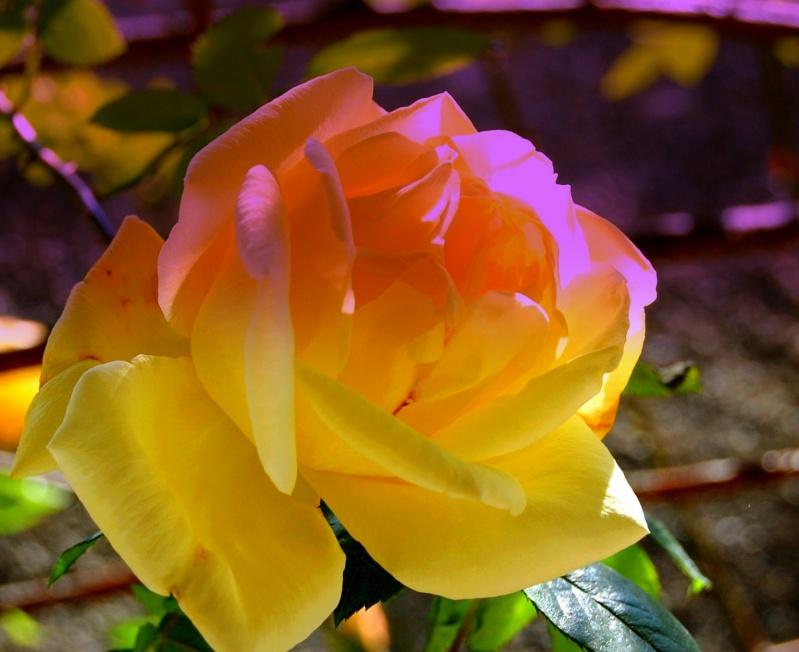 fleurs en vrac! - Page 2 Rose10