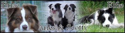 collie - Aider nous a faire adopter Djino notre border collie Aries10