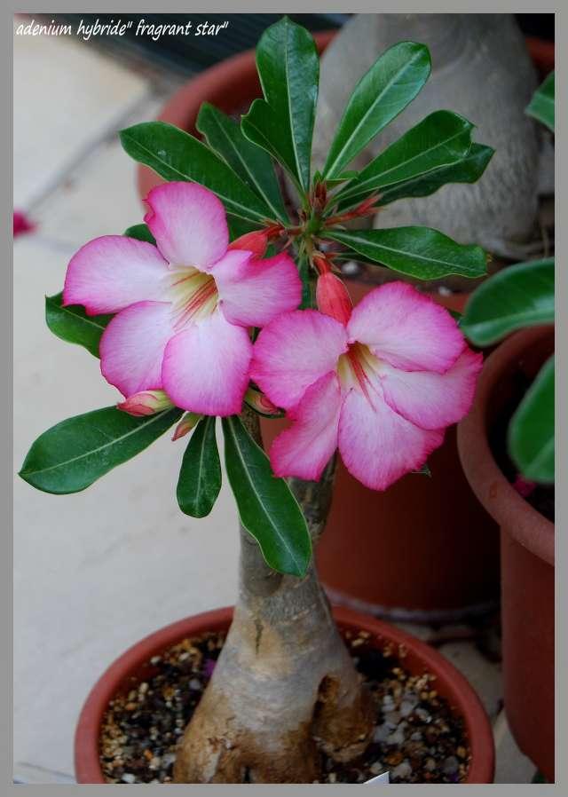 la culture et l'entretien de l'adenium (Rose du désert) Dsc_0019