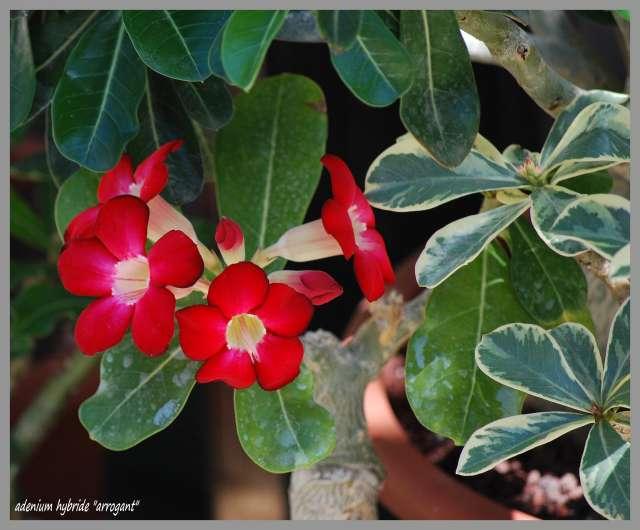 la culture et l'entretien de l'adenium (Rose du désert) Dsc_0022