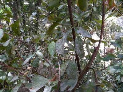 Maladie sur berberis P1010711